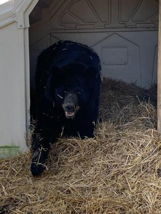 Black bears at the Red Wolf Sanctuary will begin their estivation period, where they will lay lethargic for the next several months with no food or sleep. These bears were rescued from folks who tried to keep them as pets. Photos by Paul Strasser